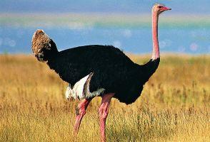 鸵鸟养殖技术,养鸵鸟赚钱,鸵鸟养殖前景和价格
