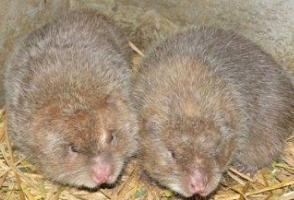 竹鼠养殖专题,竹鼠养殖技术,竹鼠价格,竹鼠图片