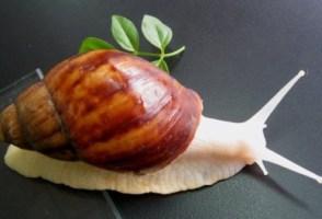 白玉蜗牛的野外养殖技术