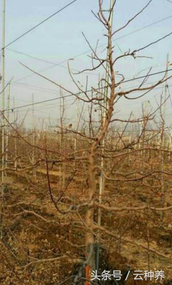 葡萄树怎样修剪,才能长好葡萄?