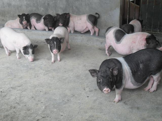 在农村养殖小香猪赚钱吗?养香猪真实利润分析