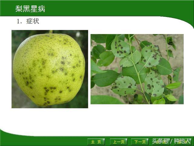 梨树22种病害识别和防治方法
