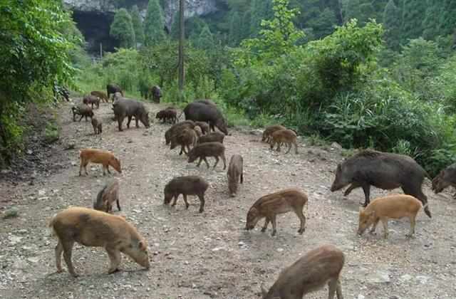 360亩野猪养殖场面临倒闭,希望在哪?