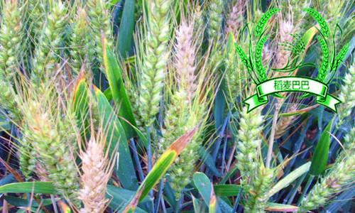 小麦赤霉病的最佳预防时期是在哪个阶段,用什么农药预防效果好?