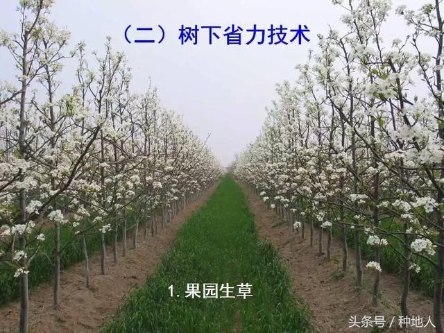 """高手是这样种植""""梨树""""的!"""