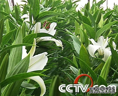 鲜切花:一花不卖二家(2009.2.24)
