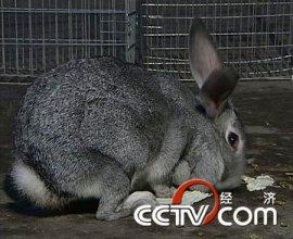 养兔:逼出来的赚钱道(2009.3.5)