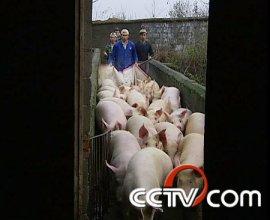 cctv7:这里养猪不缺钱(4月13日)