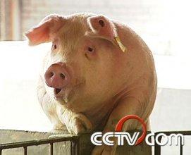 养猪:憋着一口气 做成大产业(4月20日)