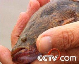 笋壳鱼养殖:低成本养出高价笋壳鱼(4月23日)
