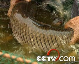 罗非鱼养殖:增重100克 带来高收益(4月24日)