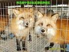 黎景昌:养殖狐狸闯富路