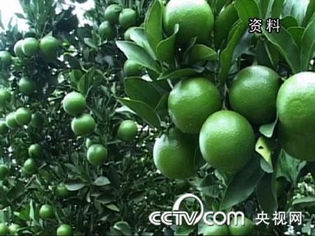 陈福斌种绿橙:另辟蹊径在神秘水果上赚钱(2010.1.19)