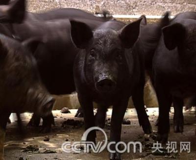 CCTV7:林德源果园养猪 年赚300万