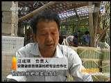 多条腿走路的三谭枇杷(2011.06.22)