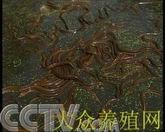 养鳝:西部黄鳝大王的致富传奇