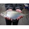 鲥鱼养殖:丰万宝卖鱼 一公斤两千元