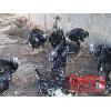 贵妃鸡的饲养技术(2010.7.28)