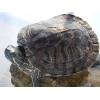 李军的巴西龟致富路