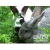 獭兔彩色獭兔的养殖技术(2010.8.16)