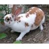 洛浦农民养獭兔致富