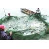 鲈鱼养殖亩产超万斤