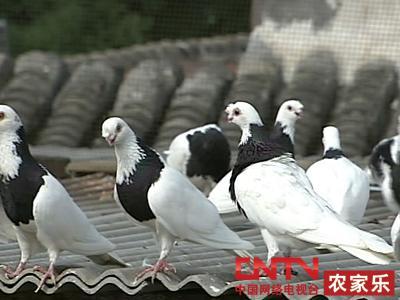 视频 观赏鸽/观赏鸽也叫玩赏鸽、看鸽,是三大鸽种之一,有着悠久的历史。