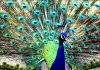 养殖孔雀的准备工作