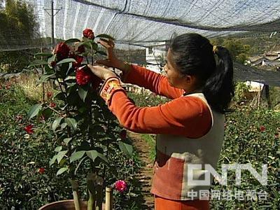 茶花嫁接视频-杨荆弼 疯狂的山茶花 下 2011.3.18