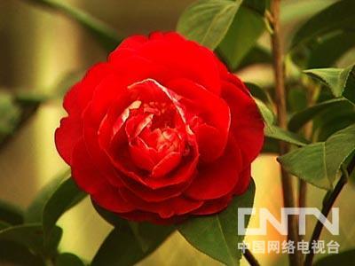 茶花嫁接视频-杨荆弼山茶花 暴利风暴过后的新财富 2011.07.25