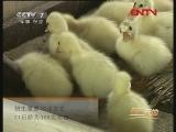 鹅地方品种介绍(2011.09.12)