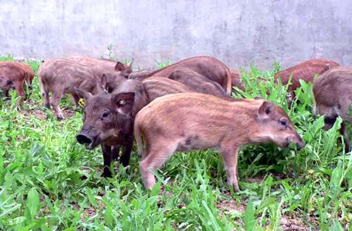 致富经野猪视频全集_汽车修理工转行养殖特种野猪致富 - 三农致富经