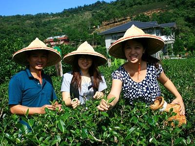 广东中山休闲农业-采茶