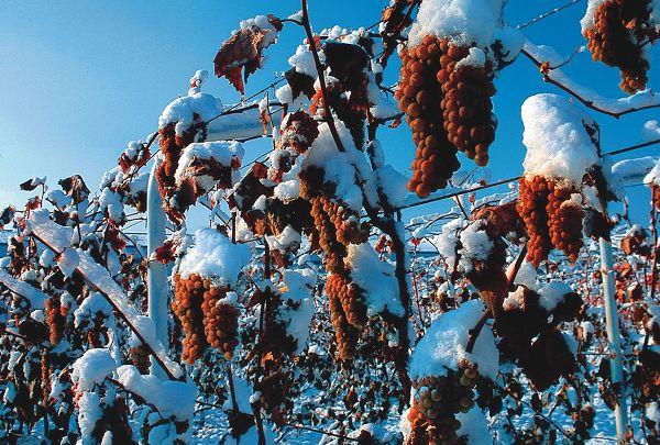 在陕西省户县有这样一个特别的葡萄园,正值隆冬季节,远远望去一片荒凉,然而,走进时却发现葡萄树上依然结满了葡萄。这种葡萄名叫冰葡萄,在经历严寒之后口感更加甜美。纪检,是这个葡萄园的主人。照理说这种葡萄一斤能卖10元钱,而且还供不应求,可是他却不舍得卖。原来,纪检留着这些冰葡萄是为了加工冰葡萄酒。冰葡萄在全世界很稀少,一亩冰葡萄加工成冰葡萄酒能卖到一二十万元,价格是鲜葡萄的好几倍。 偶然发现不掉果的葡萄 纪检是陕西省西安市户县人,上世纪80年代纪检做苗木生意。1983年7月下旬,就在葡萄成熟期户县下了一场特
