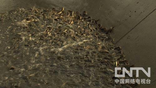 泥鳅养殖 从自家屋顶开始的财富 20120830