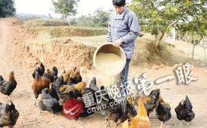 滞销橄榄喂鸡鸭 重庆养殖获高价