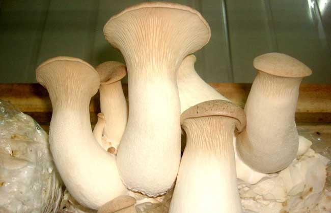 杏鲍菇的营养价值_杏鲍菇的功效与作用