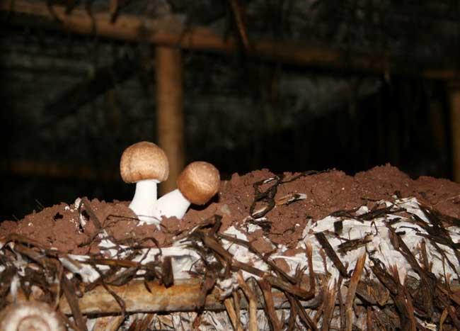 姬松茸种植技术