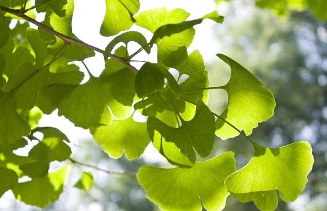 银杏叶的功效与作用_银杏果的功效与作用_银杏的产地分布