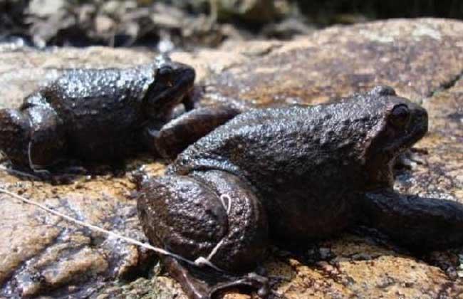 石蛙养殖技术_石蛙的营养价值