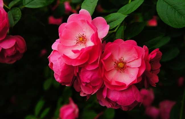 野蔷薇花语和传说