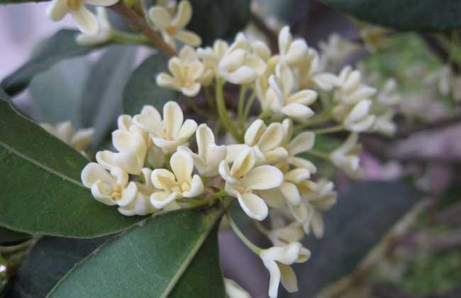 盆栽桂花树种植技术