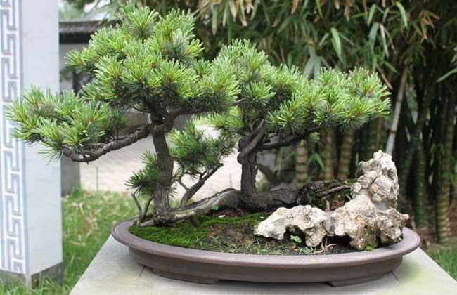 松树盆景制作过程