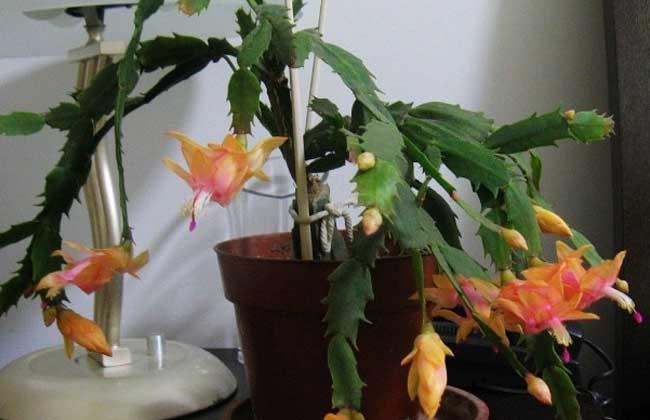 仙人掌的种类有哪些?
