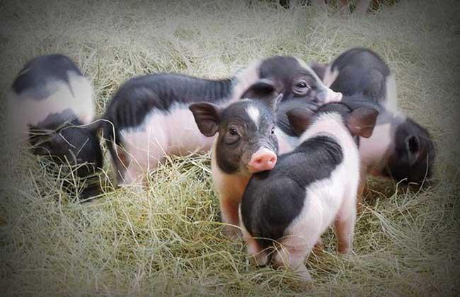 香猪是什么猪?