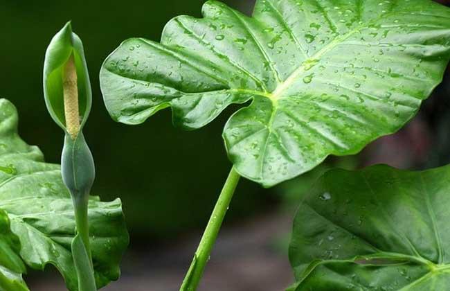 为热带和亚热带常见观赏植物