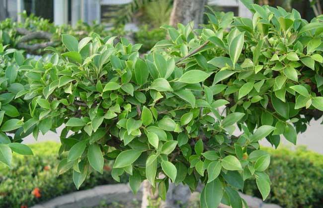 榕树盆景叶子发黄怎么办