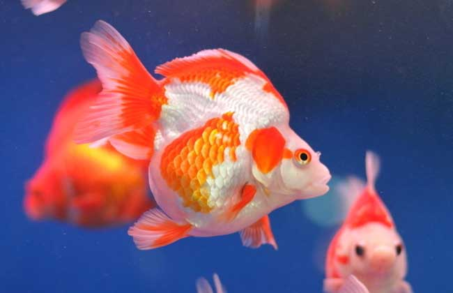 金鱼怎么分公母图片