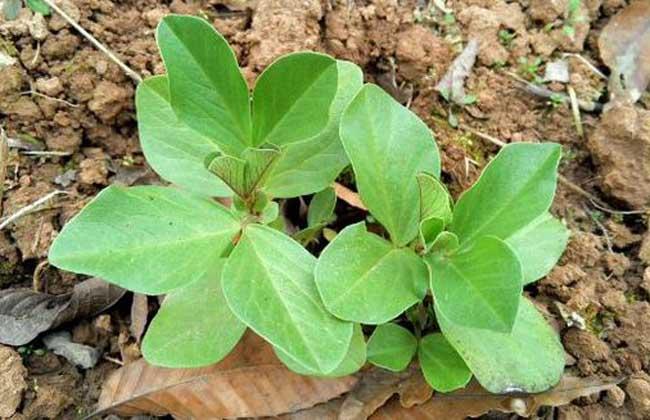蚕豆的生长过程