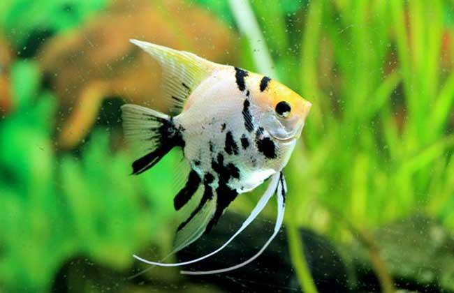 神仙鱼怎么分公母图片